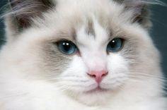 gatos-gigantes-6-racas-que-voce-precisa-conhecer!