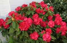 Rododendron Britannia (Rhododendron Britannia) | MijnTuin.org