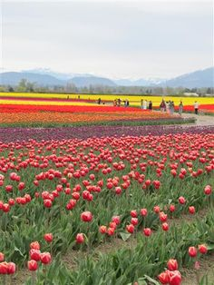 The Skagit Tulip Festival in Washington State. Photo by Taryn Koerker.