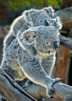 Koala pool lane by Ion Moe