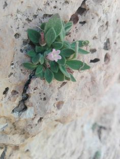 Campanula trichopoda Endemic to Lebanon and Syria, Habitat: shady rock Surveyed in Saninne, Lebanon 17_7_2017
