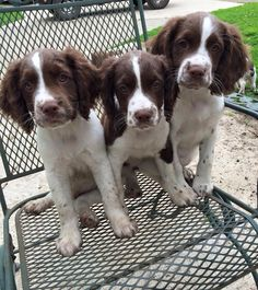 Blue Tower Spaniels