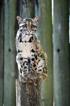 clouded leopard - LOOK AT THE PAWS
