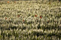 Wheat field and poppies - Campi di grano e papaveri - | Flickr : partage de photos !
