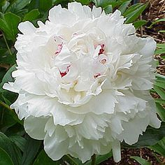 "Peony Festiva Maxima  double, white, early midseason, approx. 34 - 36"" tall, very fragrant  This heirloom peony variety has been deservedly popular for over 150 years; large, globular flowers have wide, loosely-arranged rose-form blossoms of pure white with a few crimson flecks on top; delightful fragrance; dependable, vigorous grower; large, attractive, dark green foliage; strong stems, but staking is recommended; beautiful cut flower;"
