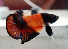 betta halfsun - Google Search