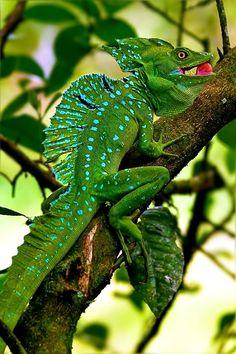 Basilisco verde (Basiliscus plumifrons), América Central, tiene la capacidad de correr sobre el agua