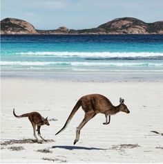 Kangaroo Picture -- Animal Wallpaper -- National Geographic Photo of. Tier Wallpaper, Animal Wallpaper, Australia Beach, Western Australia, Esperance Australia, Visit Australia, Australia Travel, Animals And Pets, Baby Animals
