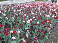 The tulips are in full blooms!