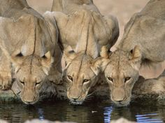 Lions Drinking, Panthera Leo, Kgalagadi Transfrontier Park, South Africa, Africa - Photographer Ann & Steve Toon
