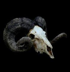 African Ram Skull