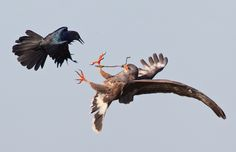 Boat-tailed Grackle and a Snail Kite, by Ron Bielefeld  2012 Photo Awards Top 100 | Audubon Magazine