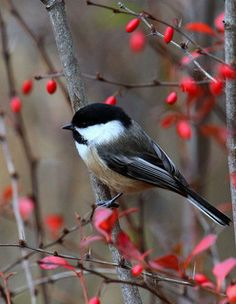 black capped chickadee tattoo - Google Search