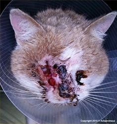 CLICK TO HELP - ALWAYS FREE | Sadly, a human did this damage to this poor cat & posted pics to Facebook where they were seen & reported. The association w/police help removed the cat where he was taken asap to vet for care. Click f/more info as to his injuries. Click to pay for his surgical care, FIV/FeLV tests, castration, IDg, deworming, hospitalization, vaccines & blood work. (Google Translated from French to English) | There are a number of animals on this page (look down the left side)…