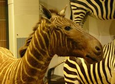 You'll Never Get a Chance to Ride These 10 Horse Breeds: Recently Extinct Horse #7 - The Quagga
