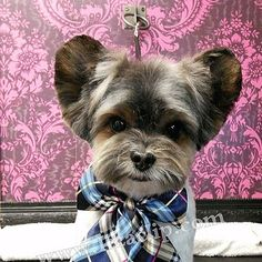 Mickey Mouse Head, Mouse Ears, Dog Haircuts, Cute Dogs And Puppies, Asian Style, Yorkshire Terrier, Teddy Bear, Animals, Yorkshire Terriers