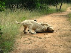 Lions playing in front of us - Walk with the Lions at Ukutula Park - South Africa