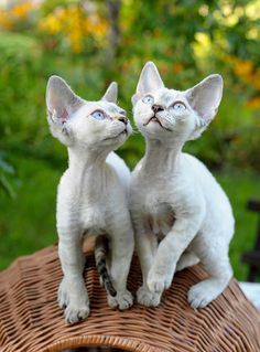 The Devon Rex is the representative of the unusual cats, looks similar to the fairy tale characters from the world of elves. These cute animals are always friendly. Cute Cats And Kittens, I Love Cats, Crazy Cats, Kittens Cutest, Devon Rex Kittens, Cornish Rex Cat, Kobold, Here Kitty Kitty, Cat Art
