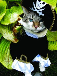Worried about all these cats kittens in costumes, quatro patas, kittens cut Kittens In Costumes, Pet Costumes, Pirate Cat, Fancy Cats, Cat Hat, Halloween Cat, Funny Animal Pictures, Crazy Cats, Cool Cats
