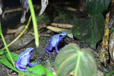 Dart Frog by UniquePhotoArts