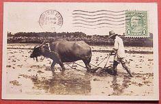 1933 Plowing Rice Fields Water Buffalo Hawaiian Islands RPPC Water Buffalo, Hawaiian Islands, Worlds Largest, Fields, Moose Art, Rice, Animals, Ebay, Collection