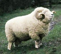 The Exmoor Horn Sheep originates from the high hills of Exmoor National Park, UK.