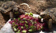 Baby Arizona Sonoran Desert tortoises eating cactus and cactus fruit.
