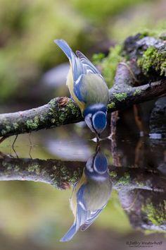 titre: blue bird in water par: Jeffry C'est un oiseau bleu sur une branche d'arbre avec de la mousse verte qui boit de l'eau et il y a le reflet de l'oiseau dans l'eau. Je trouve que cette photo est très belle, j'aime beaucoup le reflet de l'oiseau dans l'eau et qu'on voit juste ce qui est en avant-plan et que l'arrière-plan soit embrouillé. Enfin, cette image me fait sentir calme.