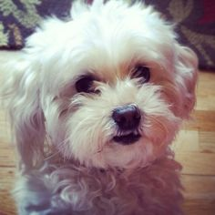 Since I pin about him so much.. My maltipoo Joey. He's precious.