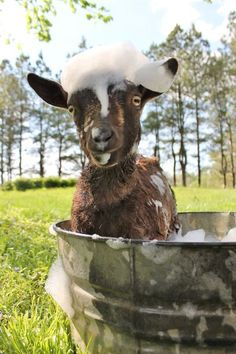 Goat in a galvanized bucket bath :) TOO cute