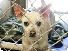Mesa, AZ - Chihuahua/Dachshund Mix. Meet A3580421, a dog for adoption. http://www.adoptapet.com/pet/12546338-mesa-arizona-chihuahua-mix