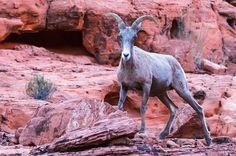 Watchful Gaze - Watchful Gaze  Desert Big Horn Sheep Ewe Valley Of Fire State…