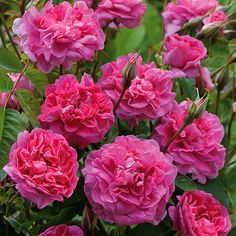 England's Rose English Rose  a tough variety particularly able to withstand rainy weather, flowers from June right up until the end of the season,  A sweet-smelling rose, the scent is strong, warm, and spicy.
