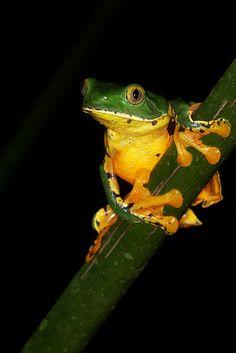 Cruziohyla calcarifer #frog #amphibians #herpetology
