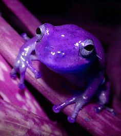 I never saw a purple frog. I hope some day to see one. I never saw a purple frog but I'd rather see than be one. Purple Love, All Things Purple, Purple Rain, Shades Of Purple, Purple Stuff, Purple Colors, Beautiful Creatures, Animals Beautiful, Cute Animals