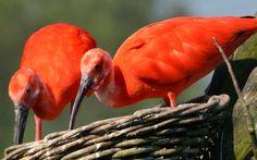 Awe Inspiring Scarlet Ibis