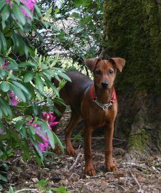German Pinscher - American Kennel Club