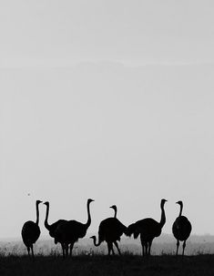 Ostriches at Segera Retreat #Laikipia #Kenya #safari