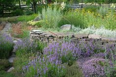 Xeriscape gardens are never watered by us. The lavender and thyme complement the pale greys of other xeriscape plants; sages, the Artimesias. #drought-tolerant-plants