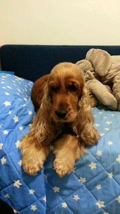 """Outstanding """"spaniel puppy"""" info is offered on our web pages. Check it out and you wont be sorry you did. Spaniel Breeds, Spaniel Puppies, Dog Breeds, Funny Dogs, Cute Dogs, English Spaniel, Golden Cocker Spaniel, Cockerspaniel, Dogs Of The World"""