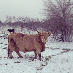 Little cow on back of big cow