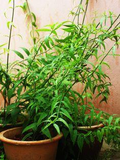 Sabah Snake Grass : Herbal Cancer Treatment