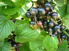 Terminy cięcia krzewów owocowych – kalendarz Fruit