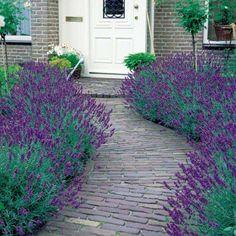 Strukturgebende sträucher garten lavender strauch tür