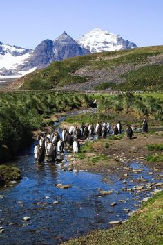 Moulting King Penguins standing in a cold stream at Salisbury Plain, South Georgia Island