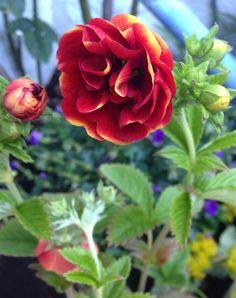 Stauden Potentilla bicolor - the perennial Potentilla Bicolor - My own garden 29.6.14 IJ