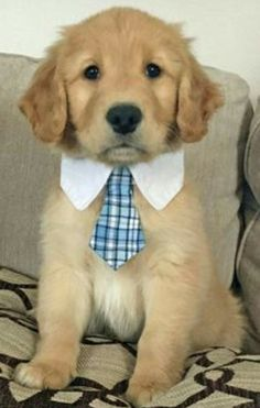 Golden Puppy I wouldn't mind if he showed up on Mothers Day Jack the Golden Retriever Pictures 1053048 Golden Retriever Mix, Retriever Puppy, Labrador Retrievers, Labrador Puppies, Funny Golden Retrievers, American Golden Retriever, Cute Dogs And Puppies, I Love Dogs, Doggies