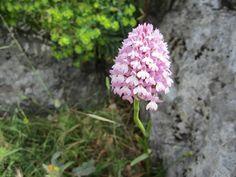 Orquídea Piramidal (El Torcal de Antequera)