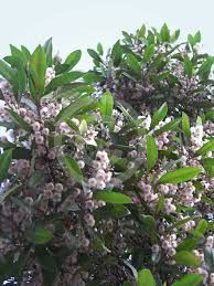 Image result for blueberry ash hedge