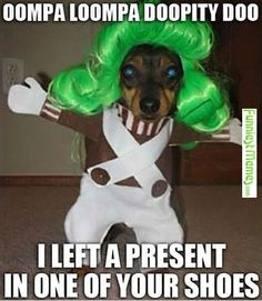 Missy, did you dress Zena up as an oompa loompa lol, this looks like her! Lol, Haha Funny, Funny Cute, Funny Dogs, Funny Stuff, Funny Things, Funny Shit, Dog Stuff, Freaking Hilarious